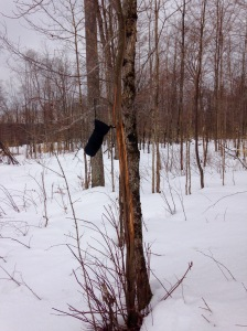 Antler rub on a tree. Mitten shown for scale. Standing on the snow, the rub was still about 6 feet up the tree.