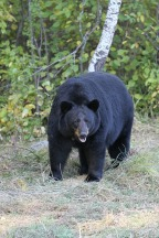 Science and Politics in Wildlife Management: Ontario Expands the Spring Bear Hunt