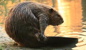 The North American beaver