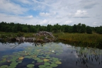 Castor canadensis: Keystone Species and Canadian National Symbol