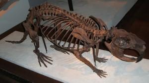 Skeleton of a giant beaver