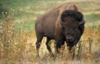 Genetically Pure Bison in North America