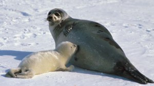 Harp seal nursing a pup. It's important to remember that these are wild animals who exist on a landscape. Credit: Encyclopaedia Britannica