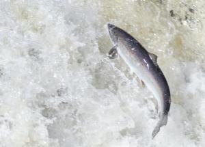 salmon_asf