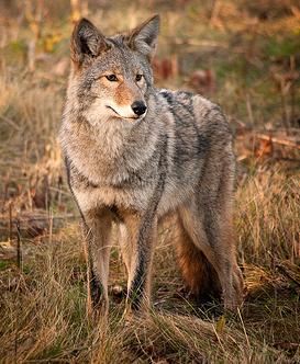 eastern-coyote