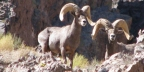 Science Update: Habitat Preferences of Desert Bighorn Sheep