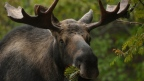 Boone, Ishmael, and the Politics of Moose Management