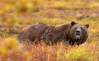 British Columbia Ends the Grizzly Bear Hunt: The Right Decision?
